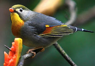 burung robin cina