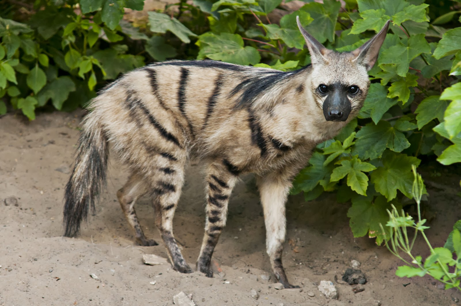 Aardwolf Wallpapers Aardwolf is a little