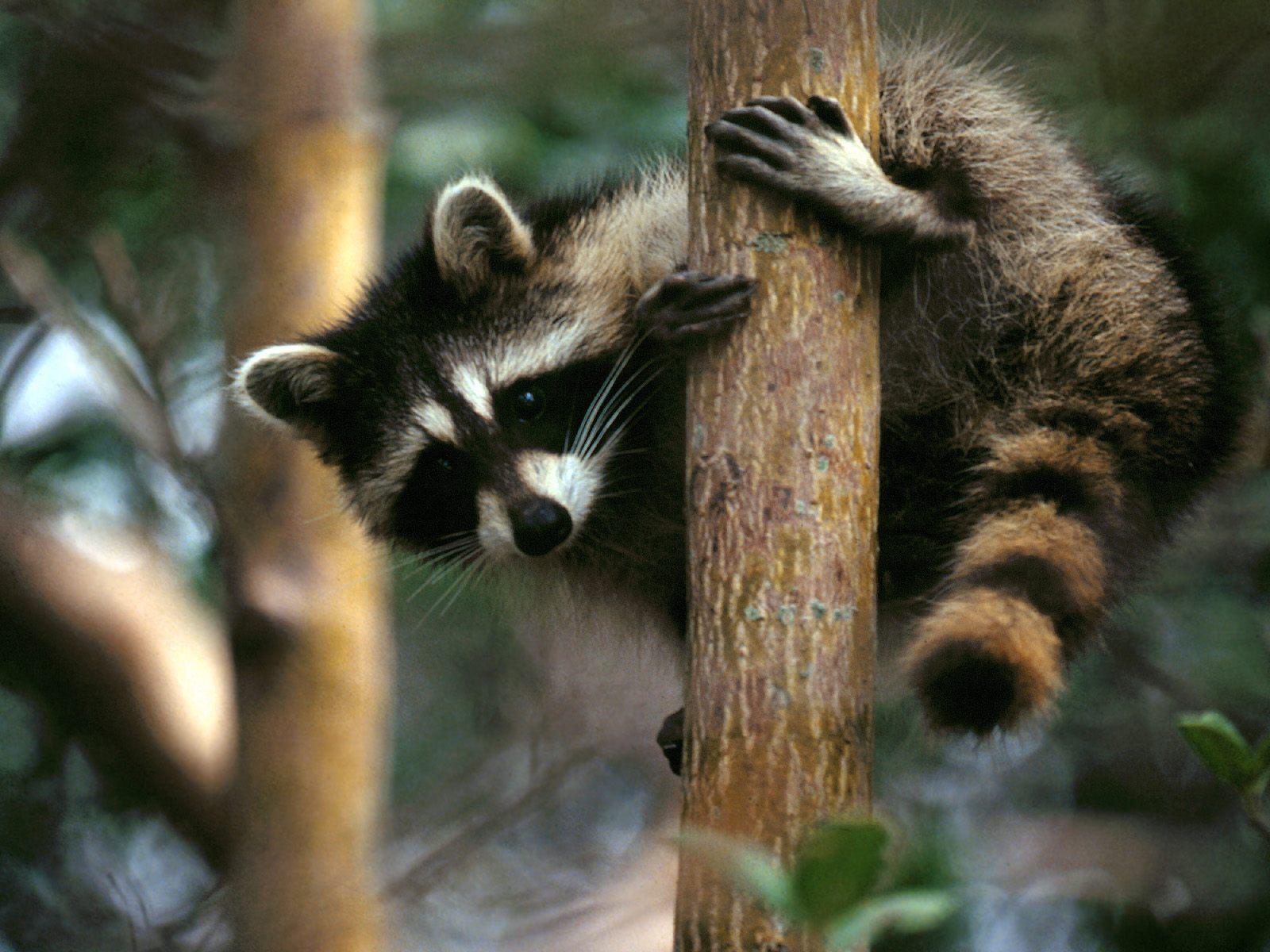 Raccoon T Raccoons | Fun Animals...