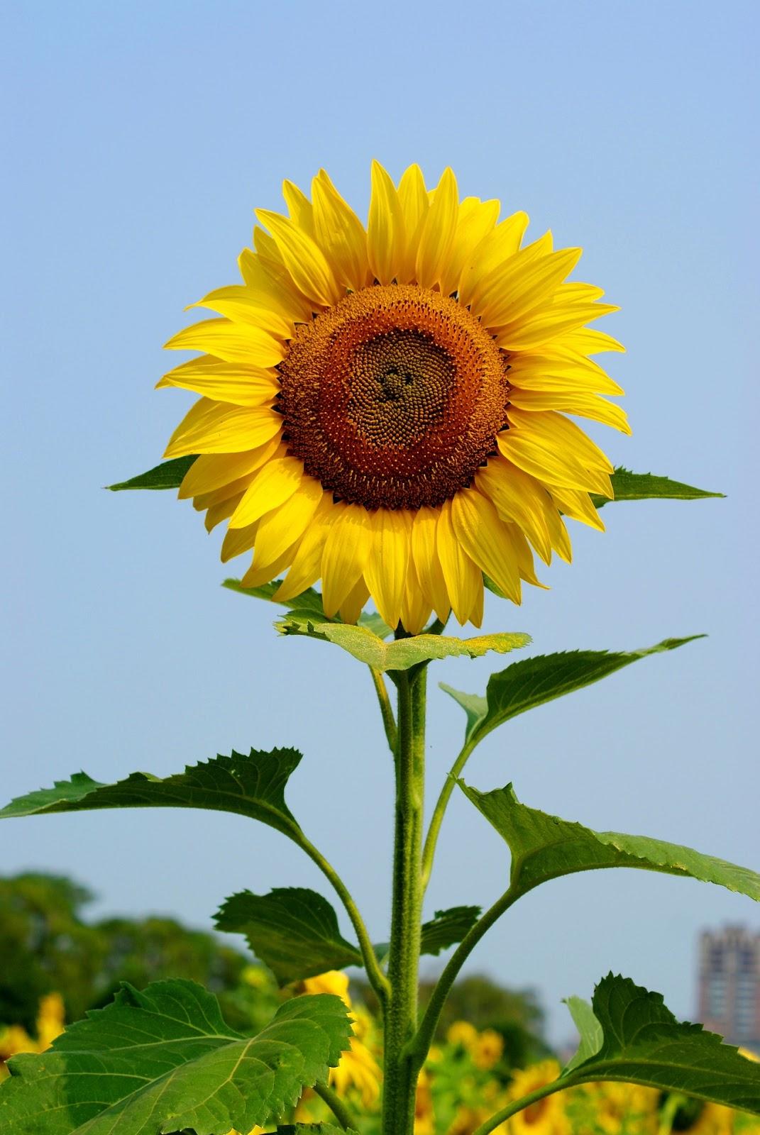 Sha  Kisah Sekuntum Bunga Matahari
