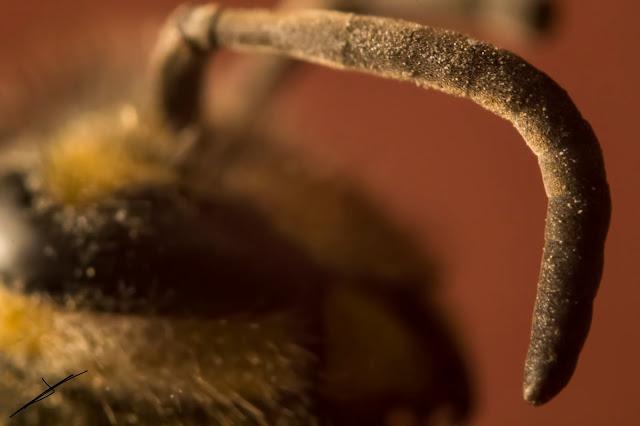 Fotografía macro de la antena de una avispa