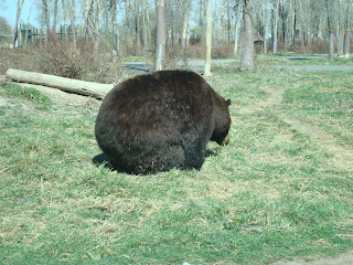 Large Black Bear at Bear World