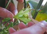 Pollinating vanilla