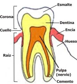 Las partes del diente