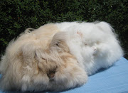 For English Angora, density carries 25 points, texture 20 points and length .