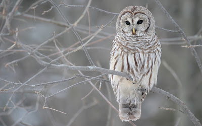 white owl Bird