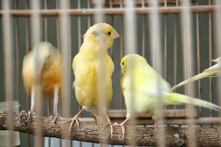 harga kenari 2013 di solo raya daftar harga burung solo surakarta