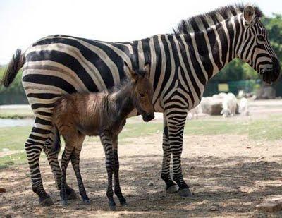 zebra keledai