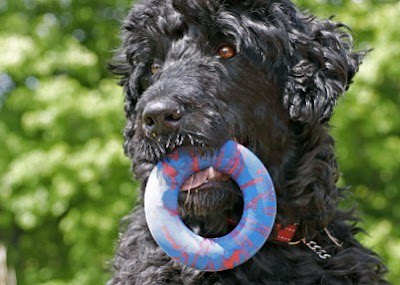 portuguese-water-dog-with-a-toy-dog