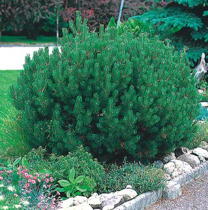 arte y jardiner a pinos rboles longevos