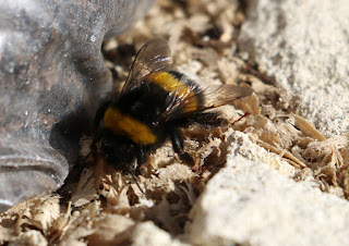 A bee which stopped on the table to say hello