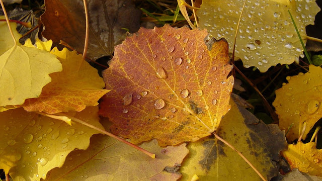 Autumn leaves with water droplets HD Wallpaper