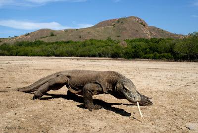 Hanya Komodo Kadal Terbesar di Dunia Saat ini
