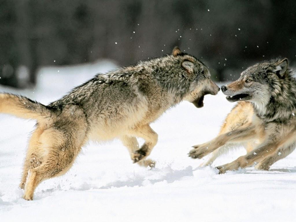 En tu interior hay dos lobos luchando