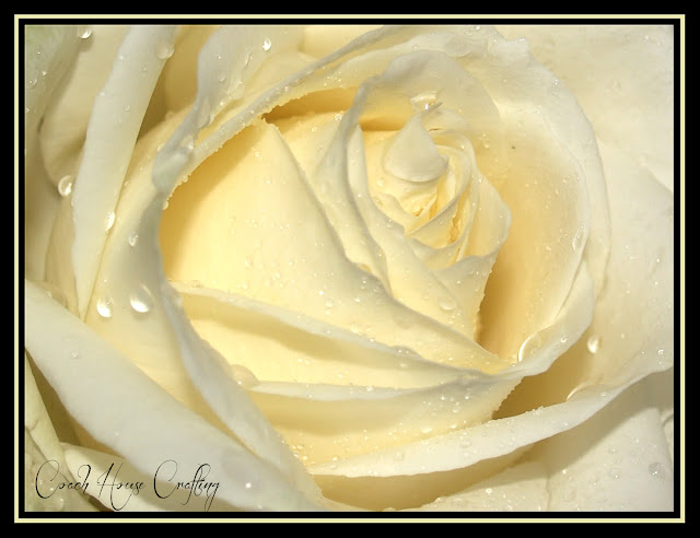 Rose, Cream Rose, Rose head, Rose photo, Rose image