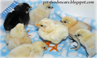 Food and Caring for Silkie Chicken