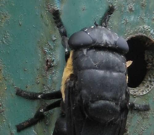 Lalat, Lalat Penyebar Belatung
