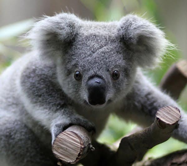 Betul Betul Info - Koala Haiwan Yang Tidak Minum