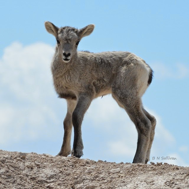 Bighorn Sheep lamb (Ovis canadensis), South Dakota