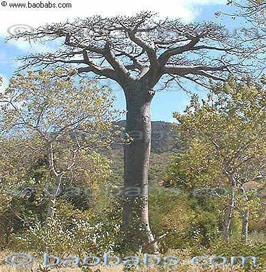 Baobab de Suarez Adansonia suarezensis