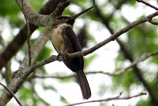 Three-toed Jacamar