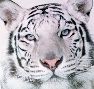 A New Breed ~ SU Attractions_white_tigers_close