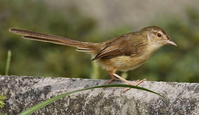 Foto Burung Ciblek Gunung Jantan