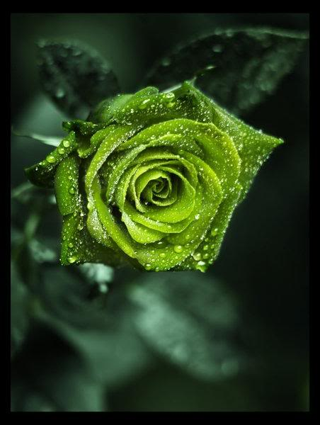 Wedding flowers green rose flowers for Green colour rose images