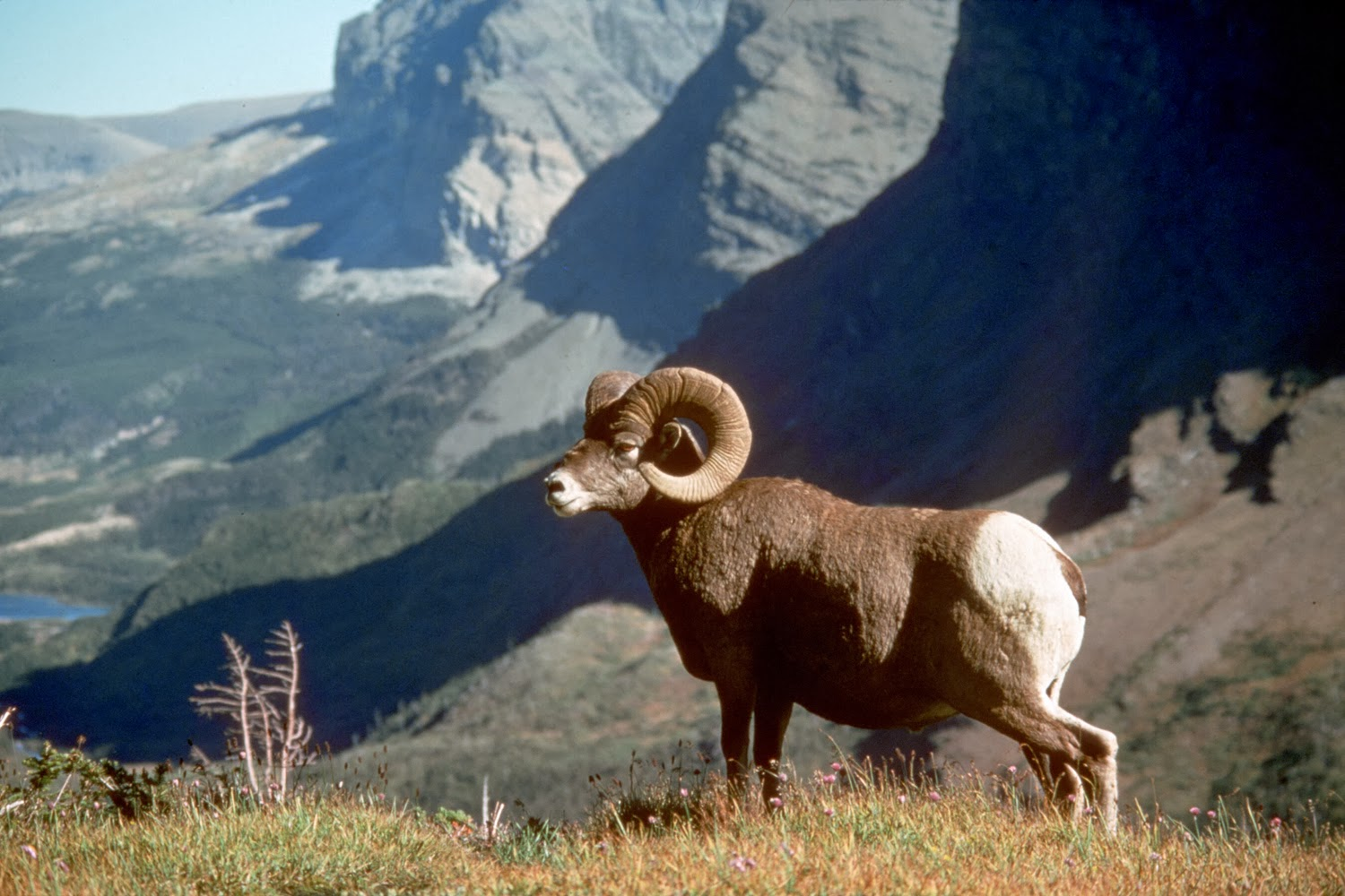 Bighorn Sheep Photos