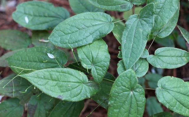 Epimedium Sagittatum Flowers Pictures