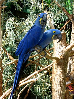 most expensive, most expensive animal, most expensive Hyacinth macaws Bird