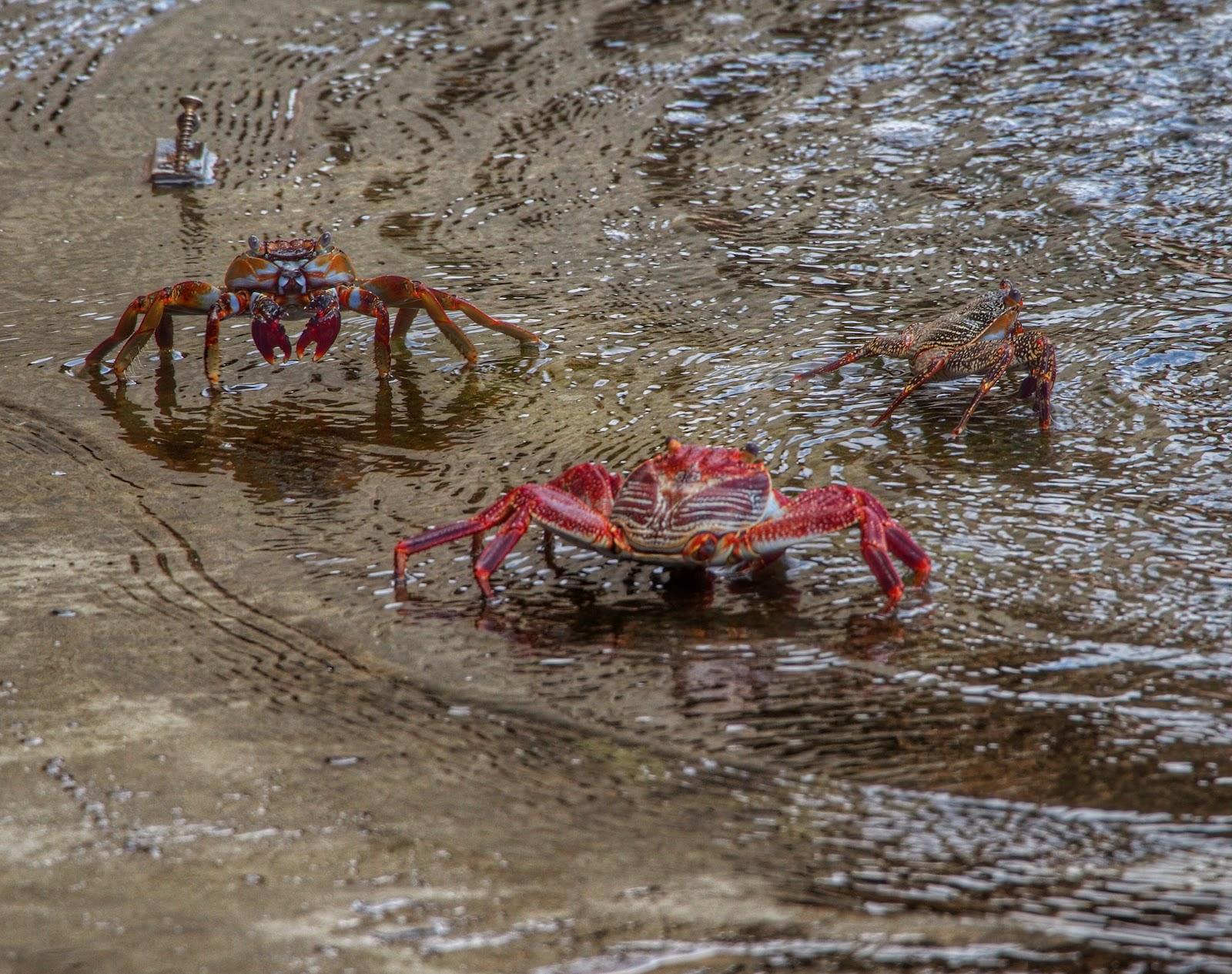 Curacao Crabs, #crabs #curacao #willemstad 2014