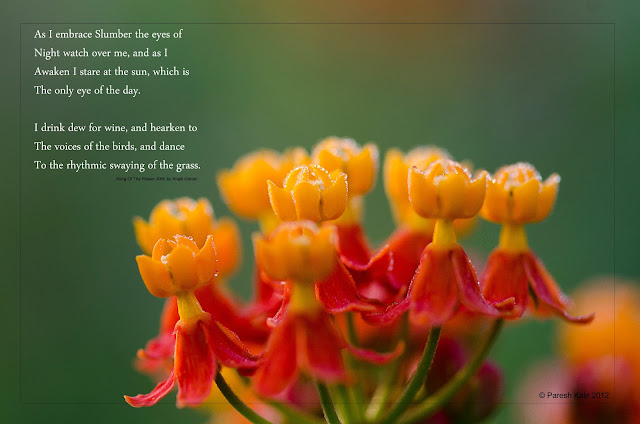 Scarlet Milkweed - पिवला चित्रक