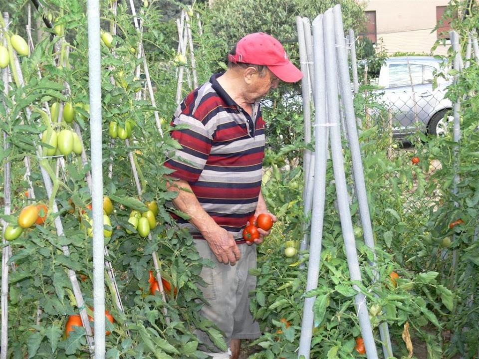 papà nella piantagione di pomodori