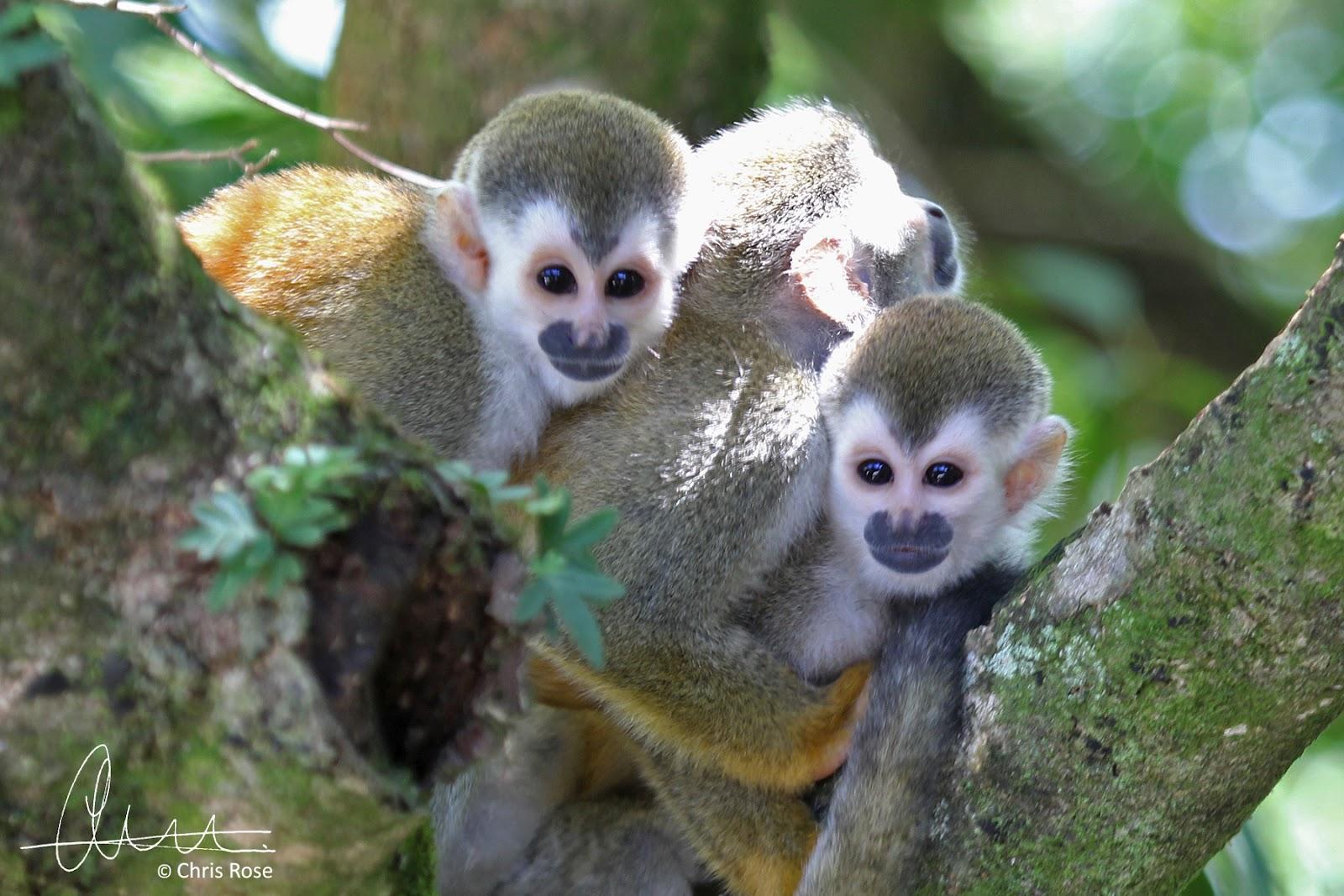 http://1.bp.blogspot.com/-1wQts1uWCng/UGRlwR7OIuI/AAAAAAAAEhY/sUc1kV9oC_k/s1600/0249+-+Squirrel+Monkey+4+Sig.jpg