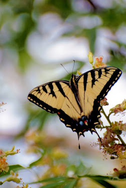 Tiger Swallowtail Papilio multicaudata