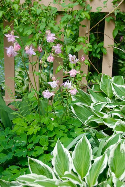 My favorite columbine this year... a medium pink bonnet. My favorite columbine this year... a medium pink bonnet. ...Here it is by the fence with white-variegated hostas and Clematis 'Lil' Nell' growing like crazy up behind.