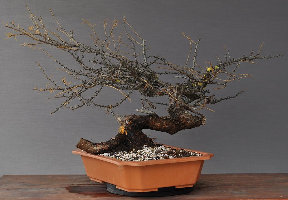 bonsai und beistellpflanzen erste gute l rche. Black Bedroom Furniture Sets. Home Design Ideas