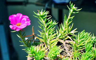 Amor de un rato (Plantas y Flores de Veracruz, México.)