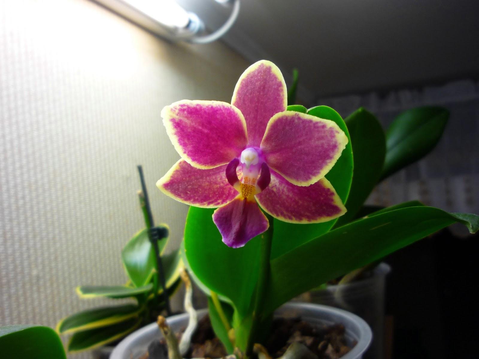 Как сделать чтобы орхидея зацвела в домашних условиях