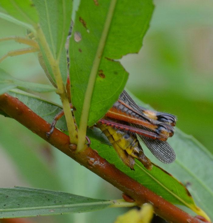 Grasshopper poop - photo#17