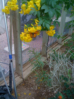 Monarch butterfly visits a Tecoma stans (Yellow Bells)