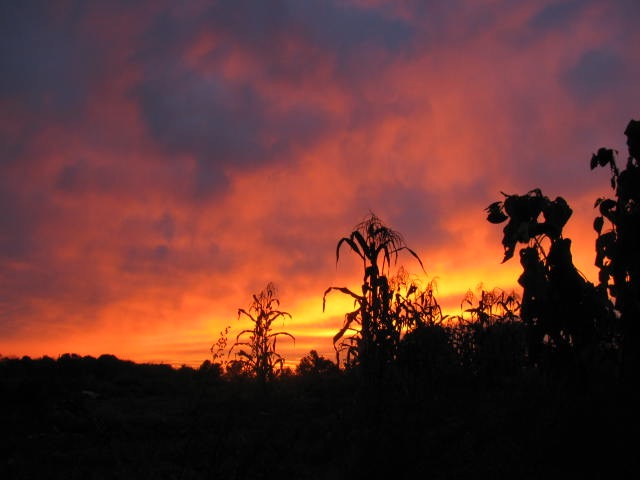 A cornfield at sunset in Danbury, CT