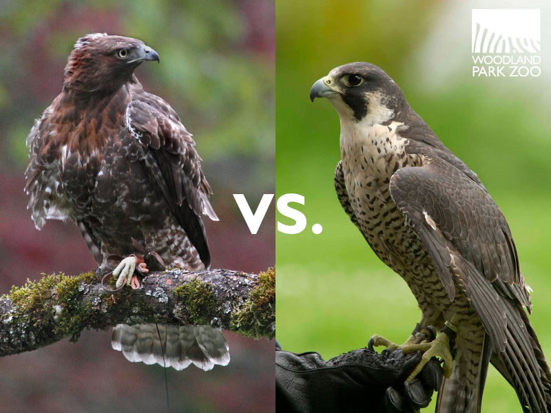 comparison of hawk and falcon essay Hawk vs falcon a falcon is a bird of prey that belongs to the genus falco there  are  categorized under animals,nature | difference between a hawk and a  falcon falcon hawk vs falcon a falcon is  summary: 1 falcons.
