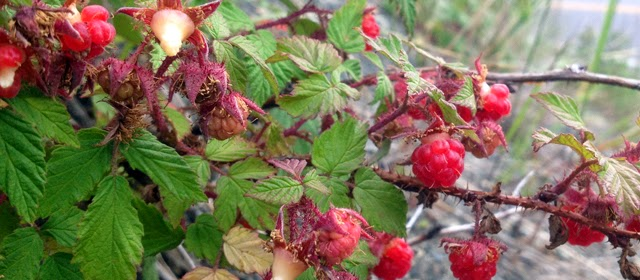 http://www.coloradosummitlife.com/drowning-my-sorrows-in-wild-raspberries/