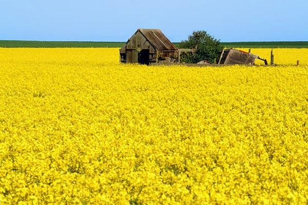 cánh đồng hoa cải đẹp nhất