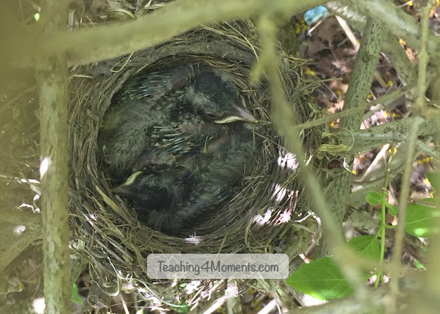 Two Robin Chicks