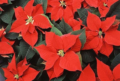 photo of many closely packed poinsettias