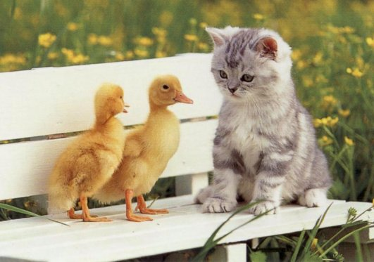 cute ducks with kitten