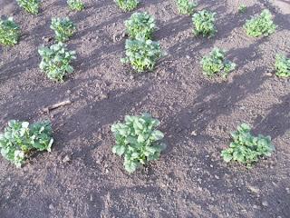 6 июня, ростки картофеля